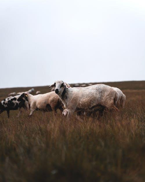 Herd of Sheep on Brown Grass Field