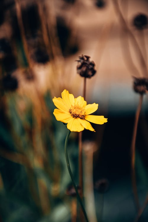 Yellow Flower of Niger Plant