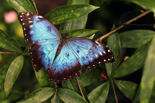 Blue And Black Butterfly 183 Free Stock Photo