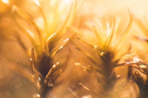 Free stock photo of clubmoss, macro, Magellanic, mardi