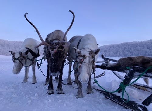 Reindeers on a Snowy Land