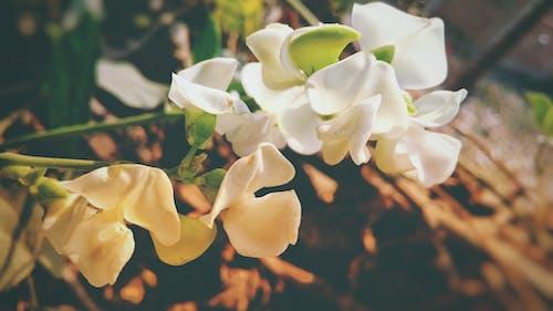 #outdoorchallenge, Beyaz çiçek, Blurr, bulanık içeren Ücretsiz stok fotoğraf