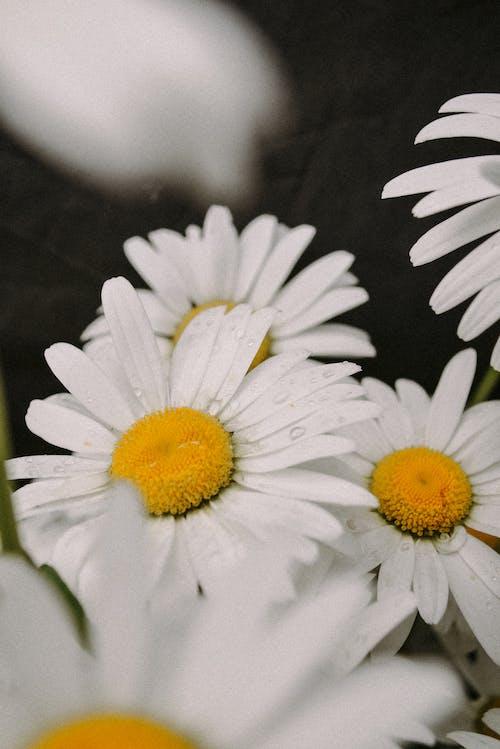 White Daisies with Raindrops