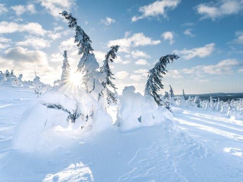 Conifer Trees Covered in Snow