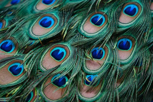 Close-Up Shot of Peacock Feathers