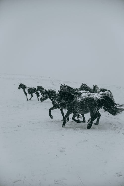 Horses Running on a Snow-Covered Field