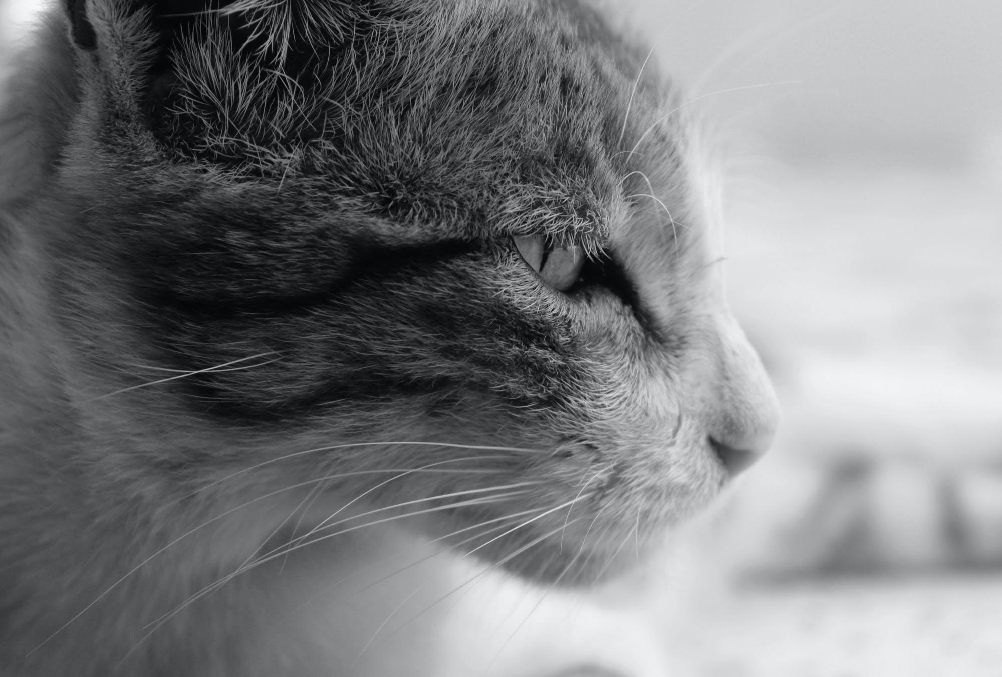 Fotobanka sbezplatnými fotkami na tému čierna a biela, mačka, oko, roztomilé zvieratá