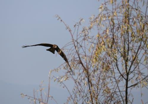 Foto stok gratis #birdsinflight, layang-layang hitam