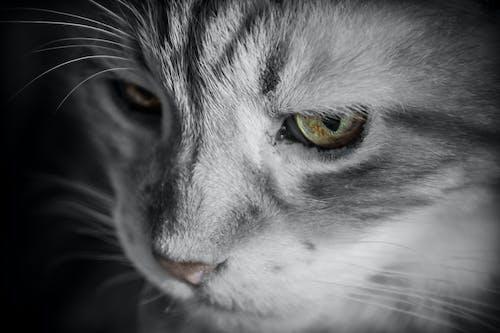 Ingyenes stockfotó állat, házi kedvenc, közelkép, macska témában