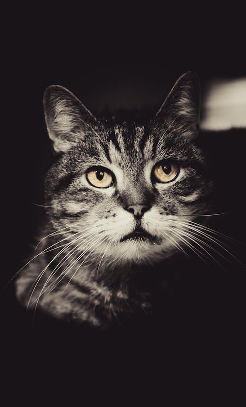 คลังภาพถ่ายฟรี ของ ขาวดำ, ดวงตา, ลูกแมว, สัตว์