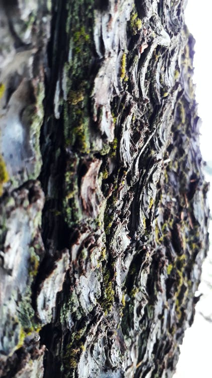 kůra, strom