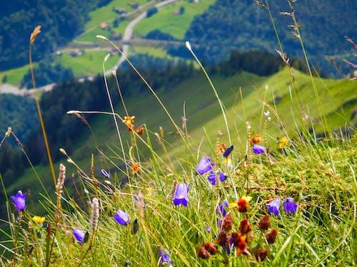 Free stock photo of alpine, alpine flowers, alpinism