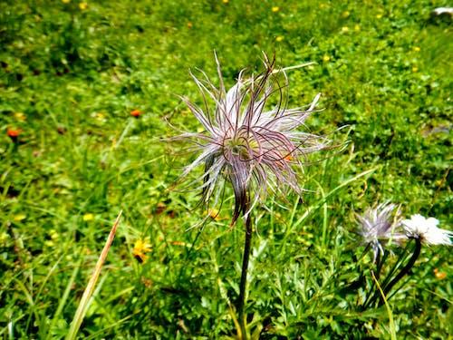 Free stock photo of alpine flower, beautiful nature, beauty in nature