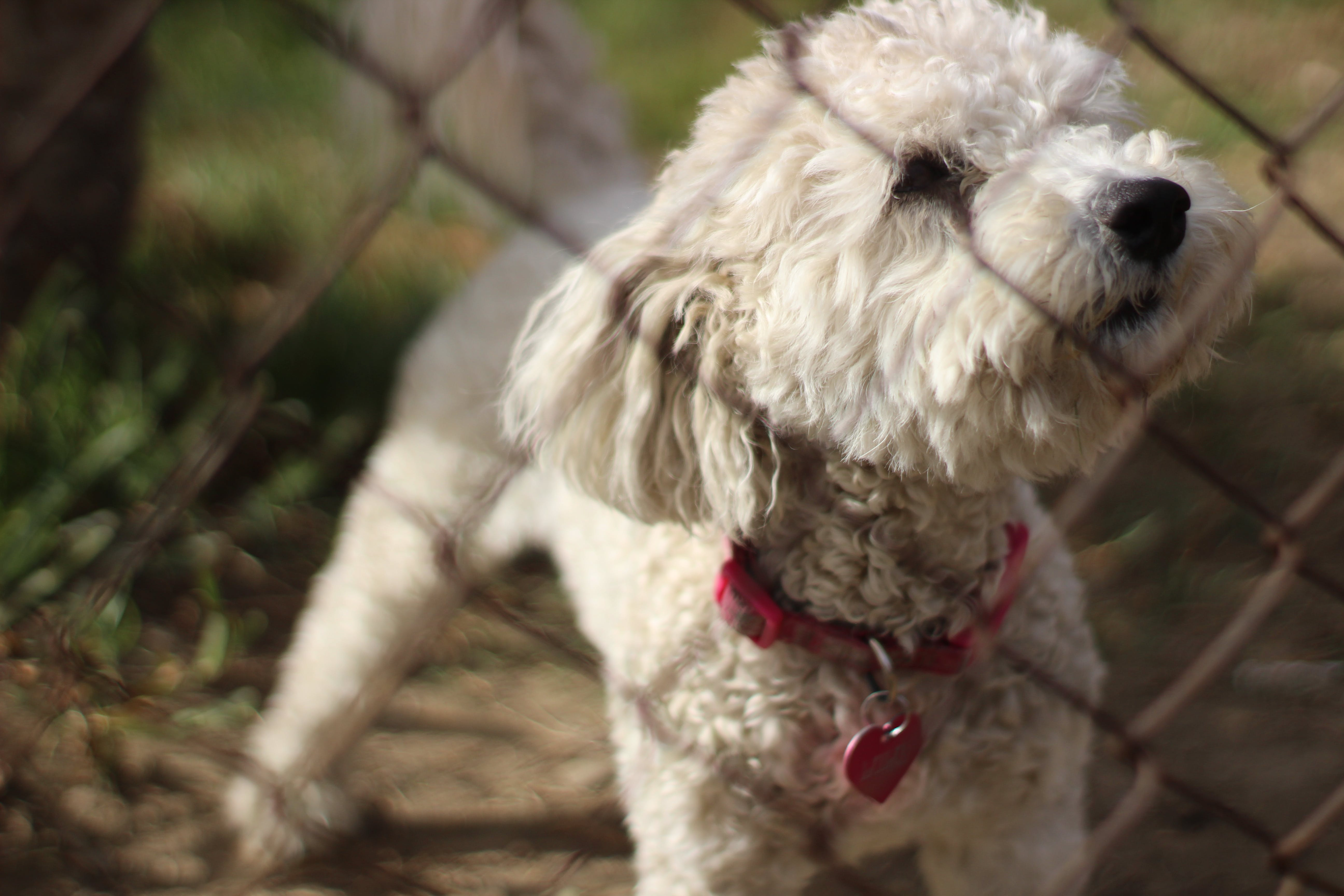 Selective Focus Photo of Adult White Toy Poodle in Front of Chain Link Fence