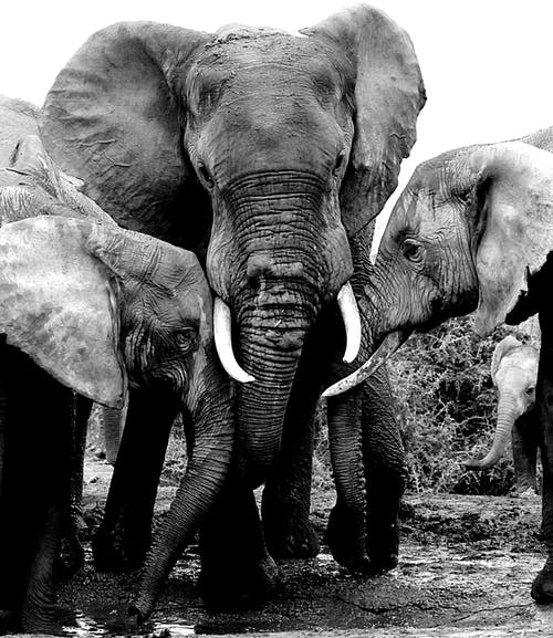 Grayscale Photo of Elephants Near Each Other