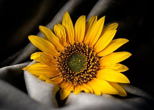 Close-Up Shot of a Sunflower