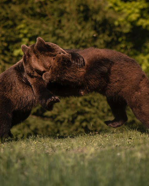 Grizzly Bears Fighting on a Grassy Field