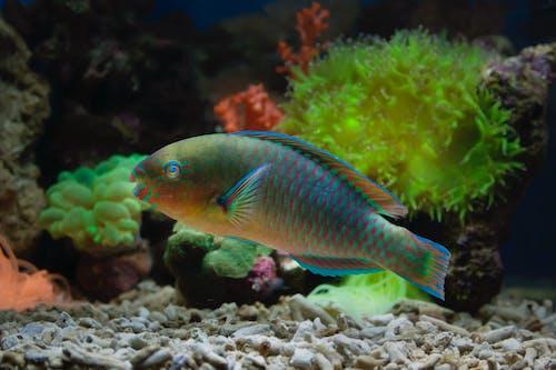 Parrotfish in Fish Tank