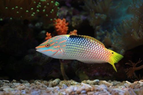 Parrotfish in Water