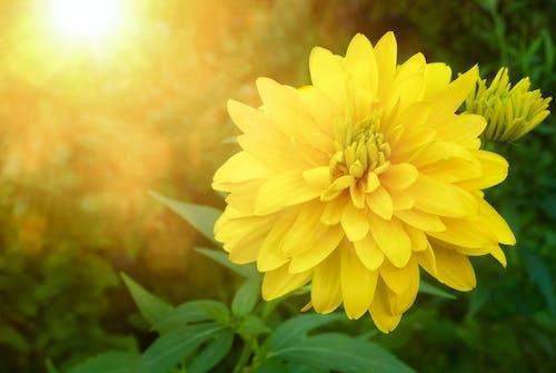 太陽に照らされた, 黄色, 黄色い花の無料の写真素材