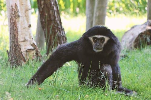 Gratis arkivbilde med afrikansk dyreliv, ape, ape som sitter
