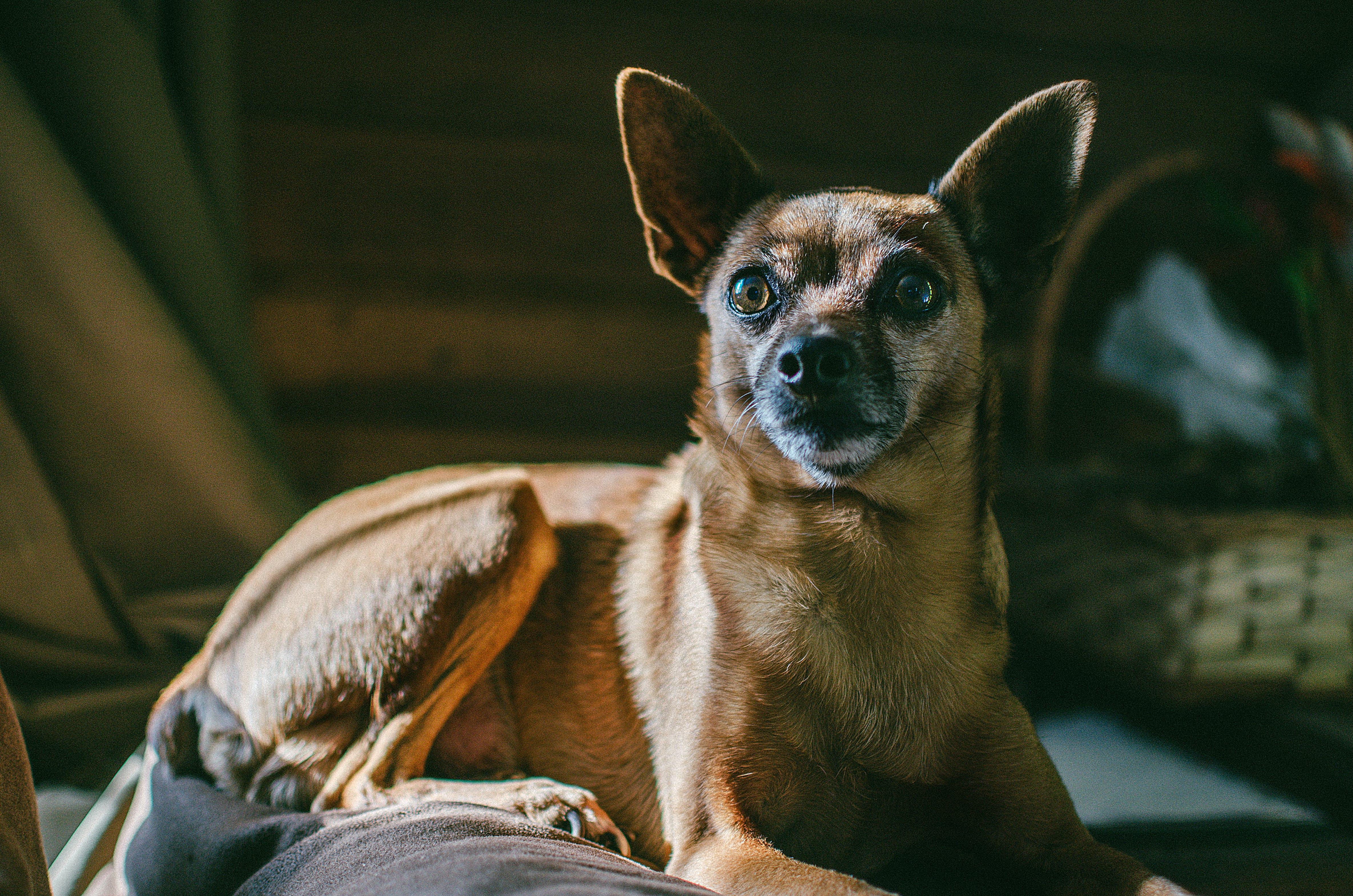 Short-coated Brown Dog Lying on Floor Inside Room