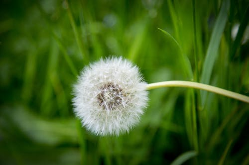 White Dandelion in Shallow Focus Photography