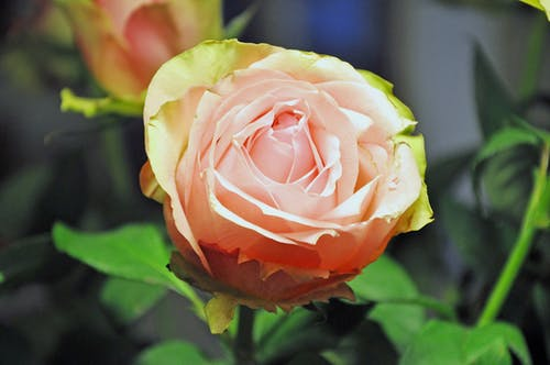 A Close-Up Shot of a Rose
