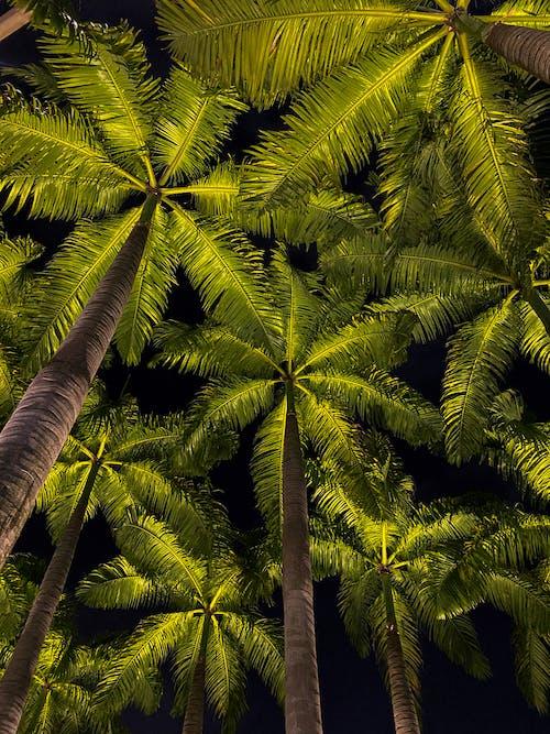 Základová fotografie zdarma na téma kokosové palmy, noc, palmy