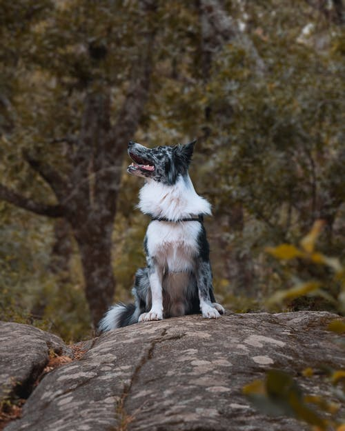 Základová fotografie zdarma na téma australský ovčák, domácí mazlíček, kámen