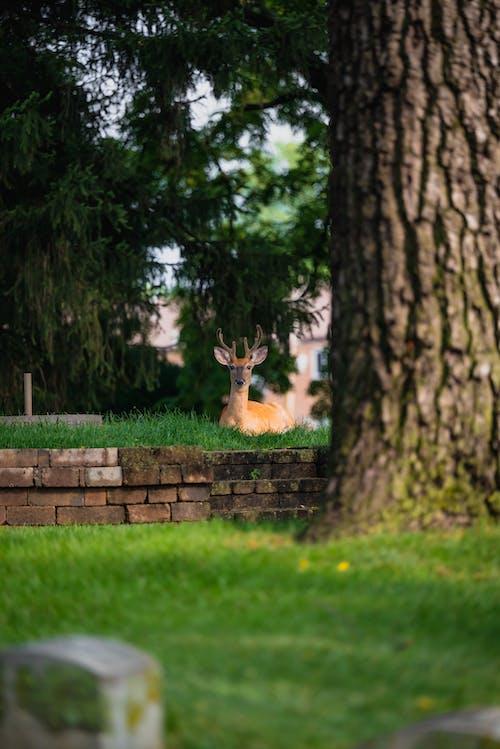 Brown Deer Lying on Green Grass