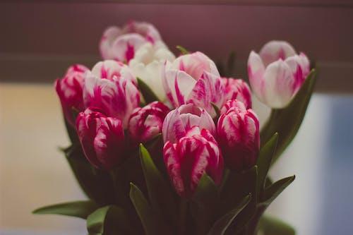 Kostenloses Stock Foto zu blumen, blumenstrauß, flora, tulpen