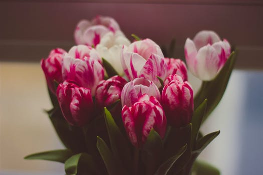 Free stock photo of flower pink red and white petaled flower on close up photograph mightylinksfo Images