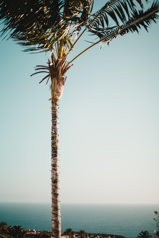 Brown Coconut Tree