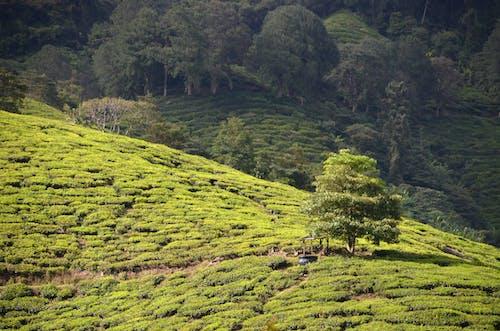 Ingyenes stockfotó tea ültetvény témában