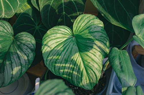 Kostenloses Stock Foto zu blätter, flora, herz geformt