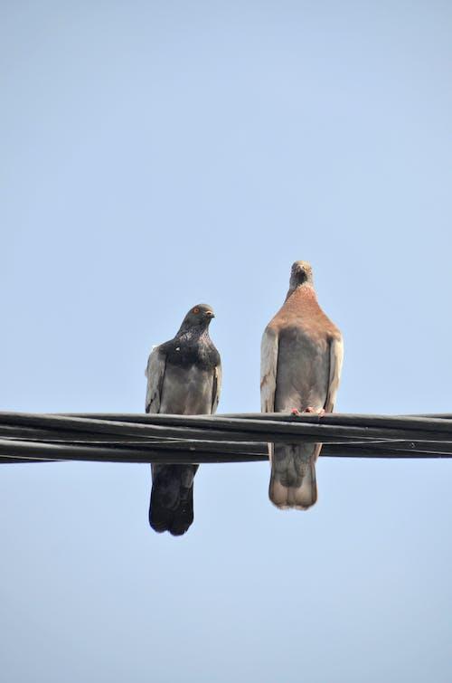 Ingyenes stockfotó galambok témában