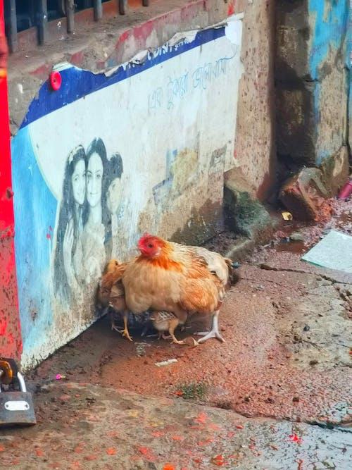 Foto profissional grátis de fotografia de rua, fotografia urbana, galinha