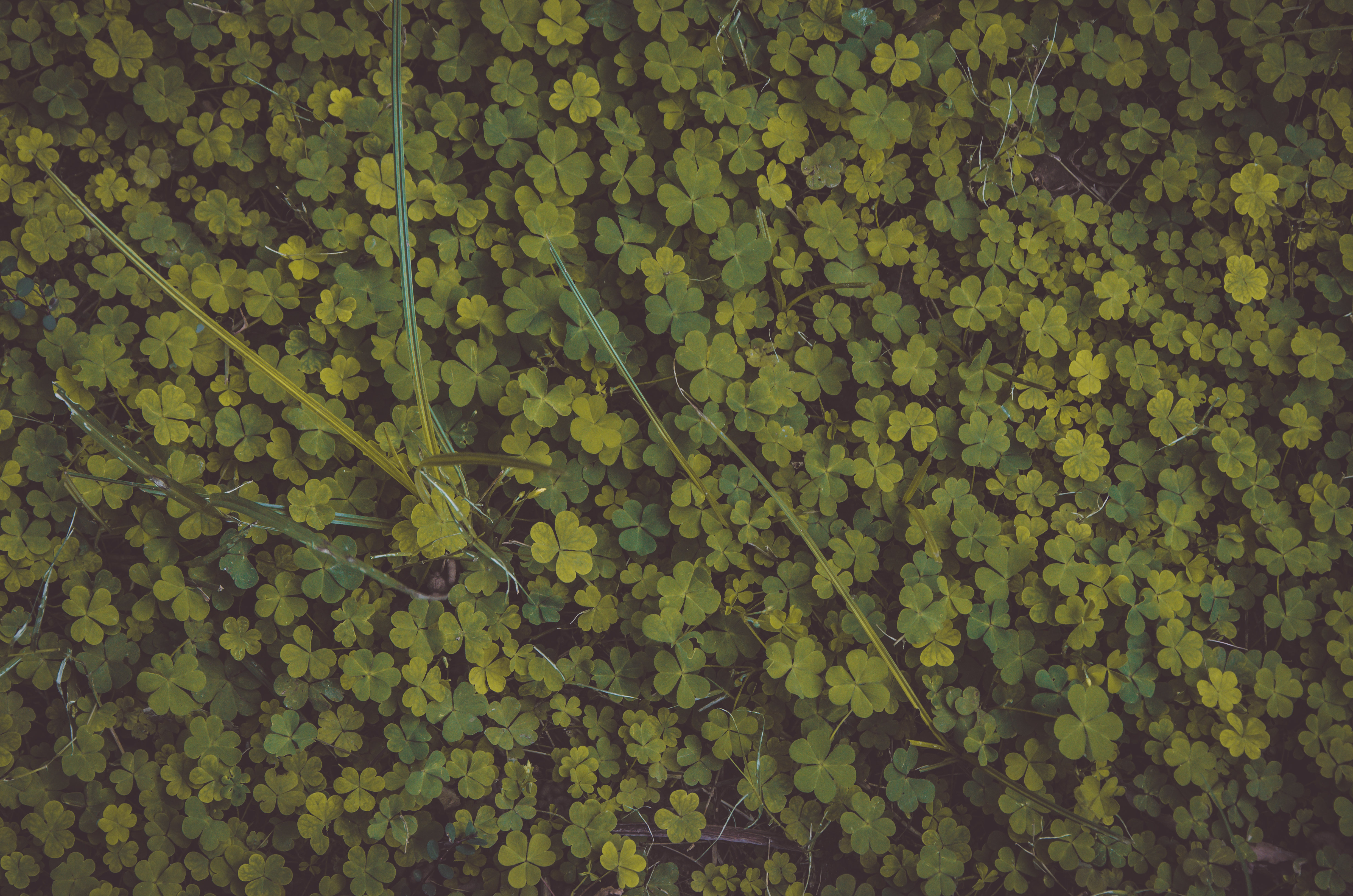 Photo of Clovers