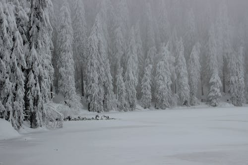 Free stock photo of fir trees, frost, frozen lake, ice