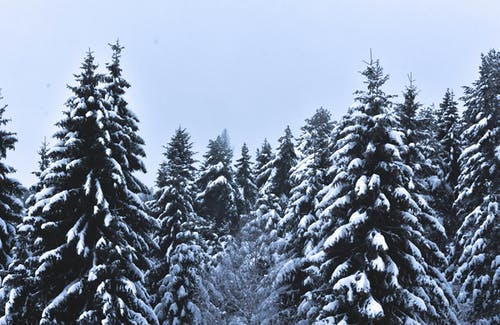Snow Covered Pine Trees Under Cloudy Sky