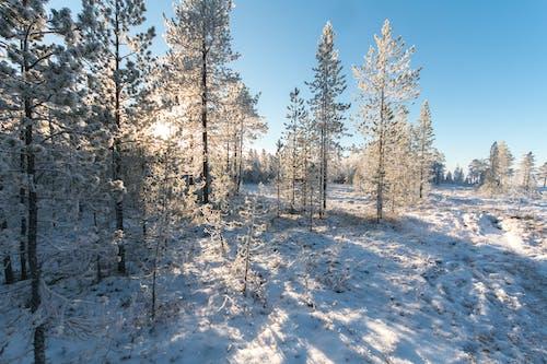 Бесплатное стоковое фото с деревья, дневной свет, живописный, заснеженный