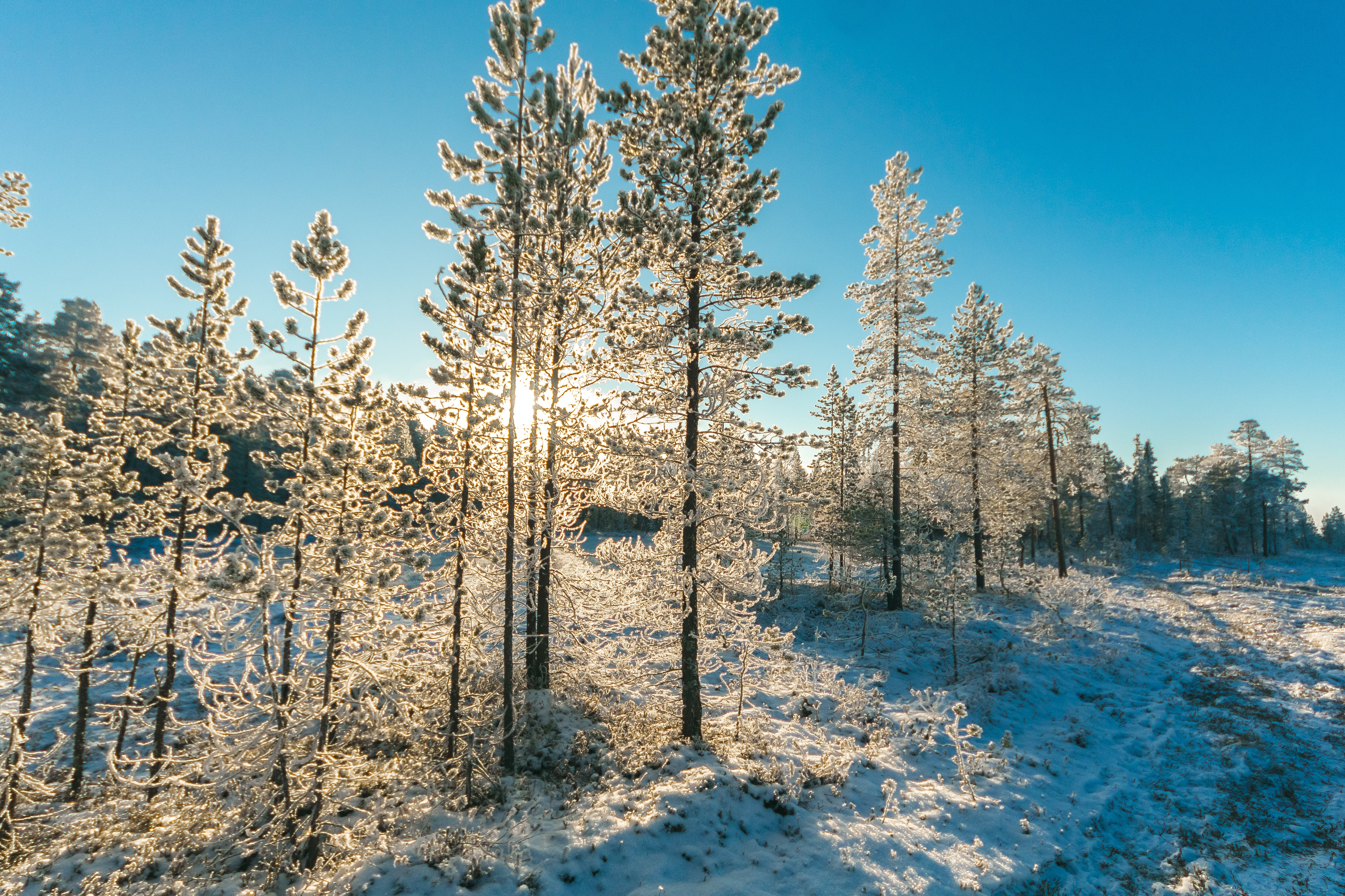 Pine Trees Field With Snow