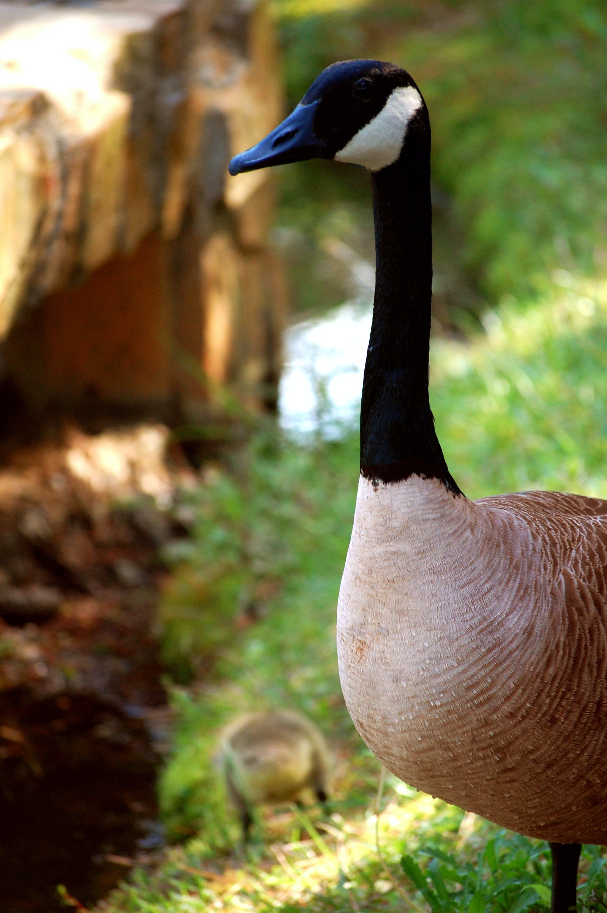 Brown Black and White Goose in Tilt Shift Lens