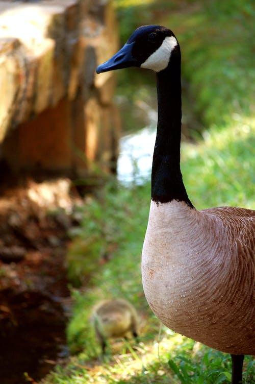Brown Black and White Goose in Tilt Shift Lens