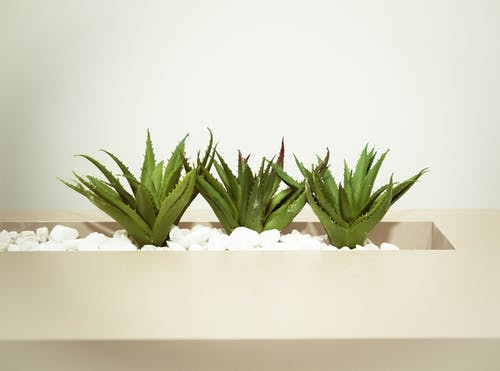 Three Green Aloe Vera Plants