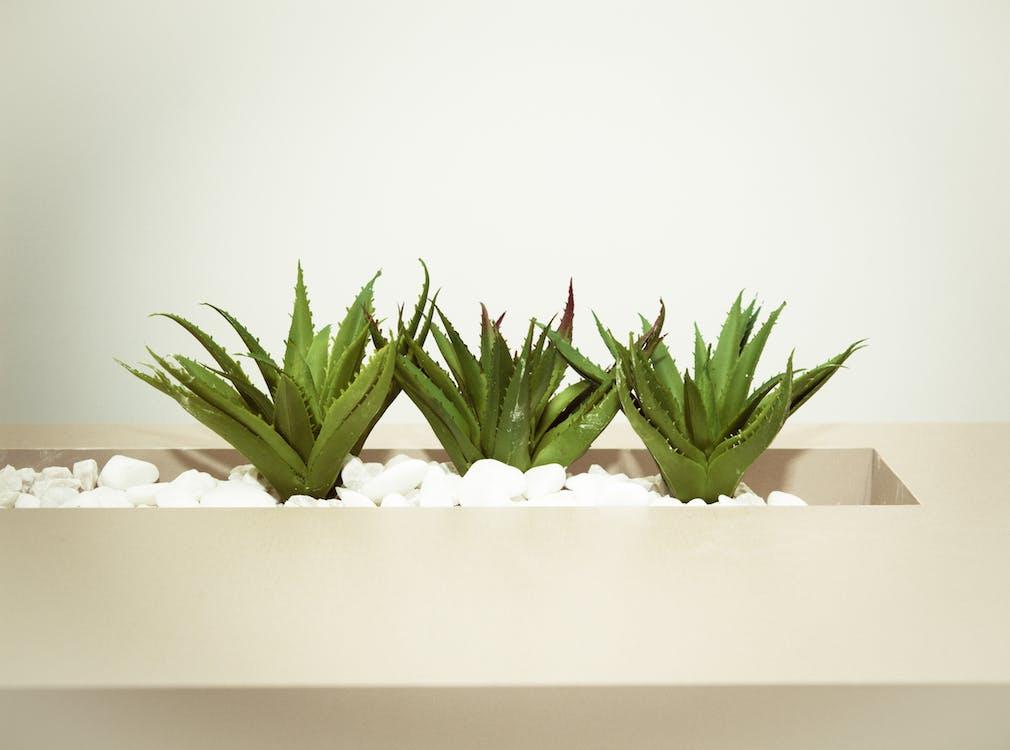 Three Green Aloe Vera Plants