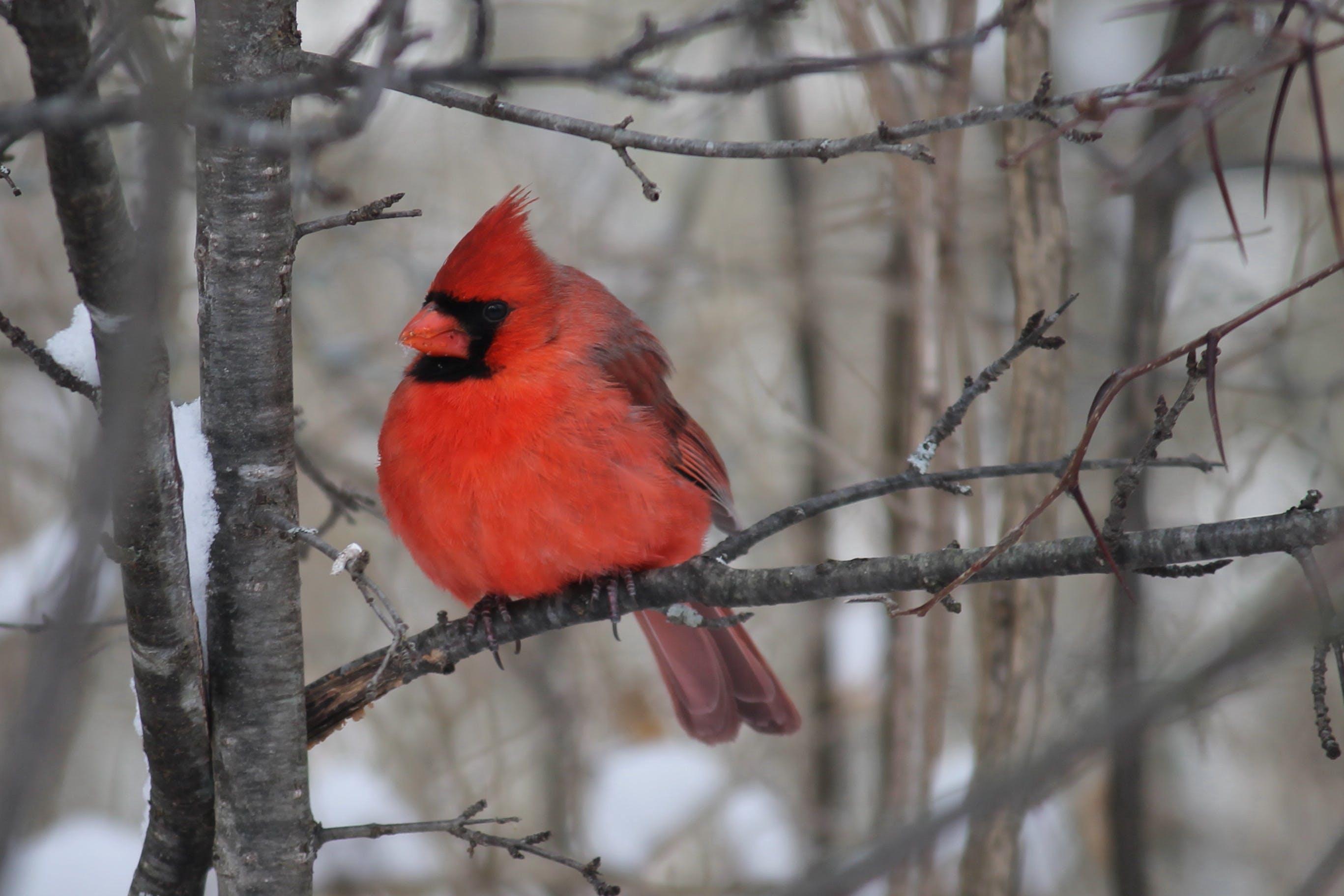 Free stock photo of birds, cardinal, nature photography