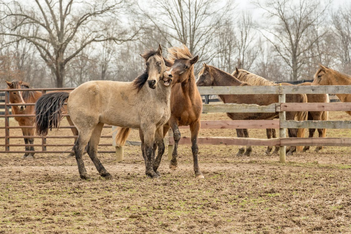 Two Brown Horses Beside Wooden Fencee