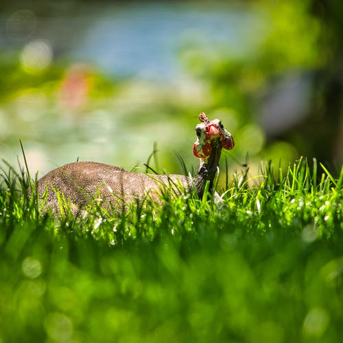 Free stock photo of depth of field, field of grass, guinea fowl